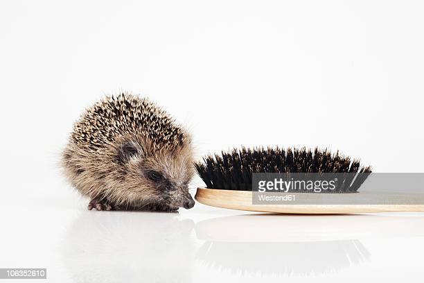 Hedgehog with hair brush on white background