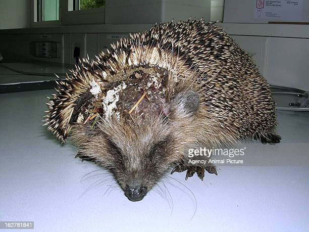hedgehog with maggots on September 08 2008 in Munich Germany