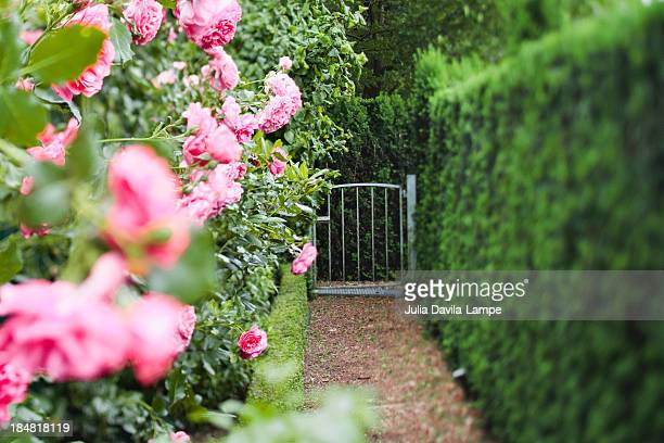 hedges - julia rose stock photos and pictures