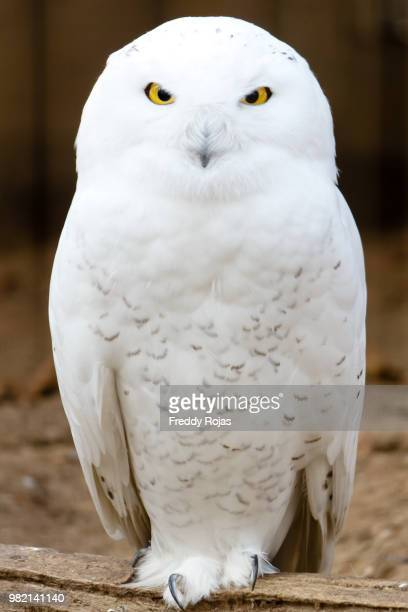 hedwig - snowy owl stock pictures, royalty-free photos & images