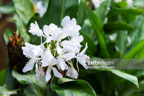 hedychium coronarium - white gingerlily flower - fiore di zenzero foto e immagini stock