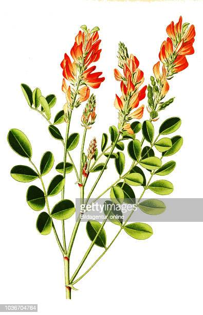 Hedysarum coronarium French honeysuckle cock's head Italian sainfoin sulla or soola Spanische Esparsette Franzšsischer SŸ§klee Italienischer SŸ§klee...