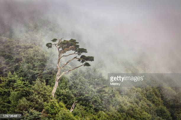 hehuanshan national forest taiwan lonely tree in the mist - mlenny stock pictures, royalty-free photos & images