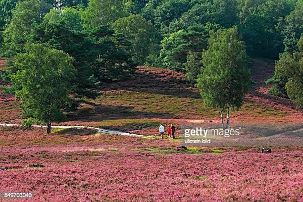 Heideblüte Spaziergänger mit Hund in Landschaft mit blühender Heide Birken und Kiefern im Naturschutzgebiet Fischbeker Heide Bezirk Harburg Hamburg...