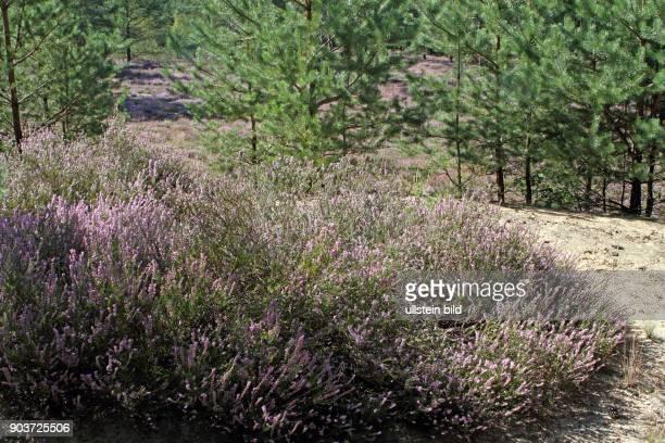 Heidekrautflaeche Strauch rot bluehend vor Waldkulisse
