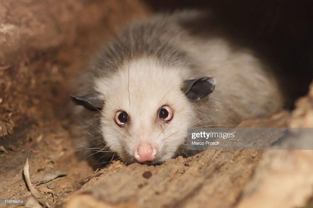 Heidi The Opossum Moves To New Quarters At Leipzig Zoo : Nachrichtenfoto