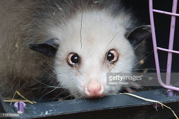 Heidi the cross-eyed opossum is presented to the press at the Leipzig Zoo on June 9, 2011 in Leipzig, Germany. On July 1st, 2011 Leipzig Zoo will...