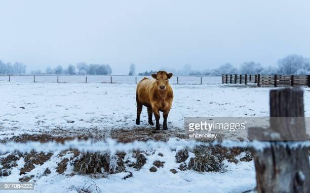 heifer standing in snow-covered farm field, caldwell, idaho, usa - caldwell idaho foto e immagini stock