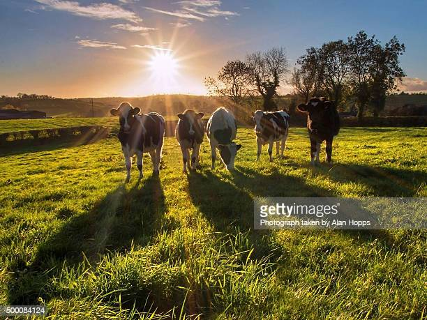 Heifers and shadows