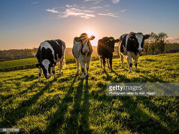 heifers at sunset - northern ireland stock photos and pictures