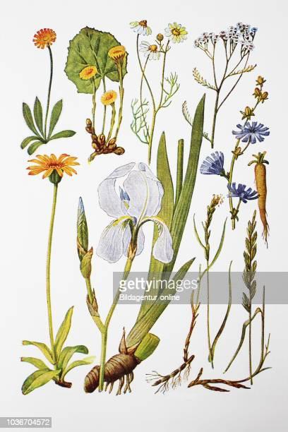 Heilpflanzen Habichtskraut Huflattich Kanille Schafgarbe Zichorie Arnika Veilchenwurz Quecke wei§e Quecke digital improved reproduction of an...