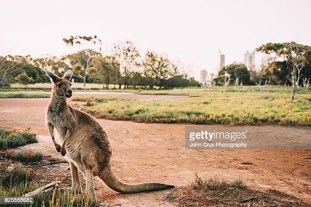 Heirisson Island city Kangaroo
