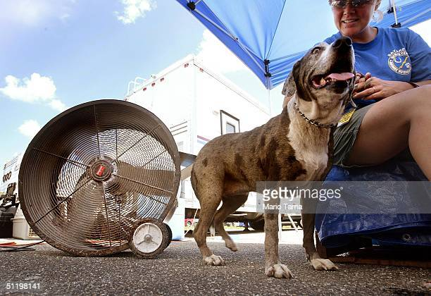 Hela a Catahoula leopard hound cools off by a fan at the animal rescue facilty DART for animals affected by Hurricane Charley August 20 2004 in Punta...