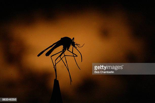Held by a pair of tweezers one of thousands of mosquitos trapped by Los Angeles County Vector Control officers at their lab in Lakewood where they...