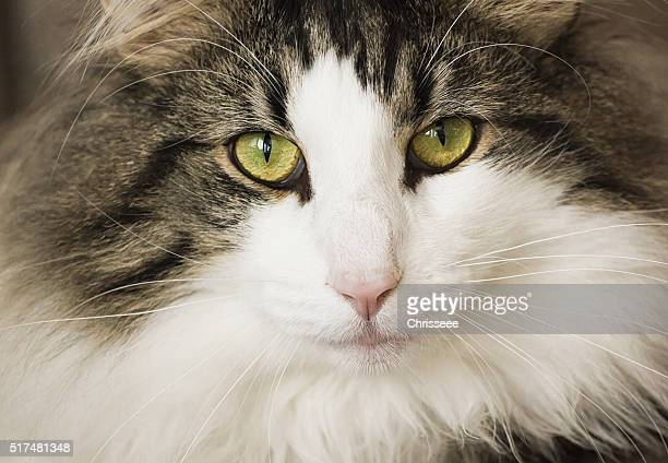 helga - norwegian forest cat stock photos and pictures