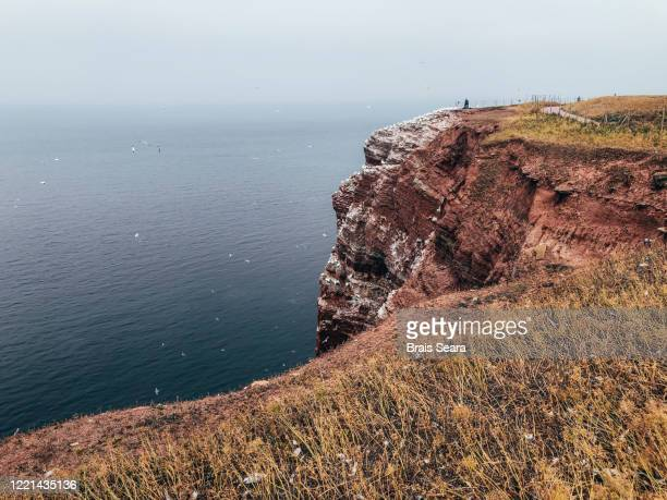 helgoland cliffs, a northern gannet breeding colony. - helgoland stock pictures, royalty-free photos & images