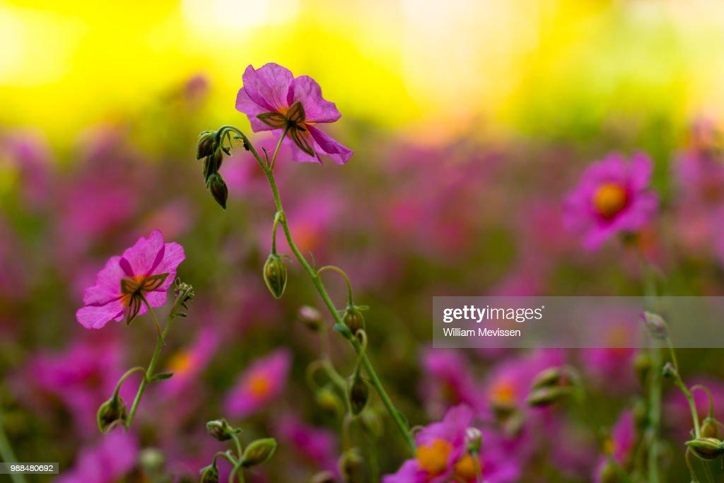 Helianthemum 'Wisley Pink' : Stockfoto