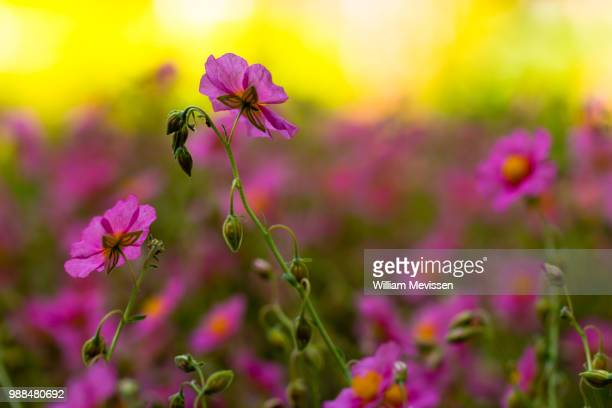 helianthemum 'wisley pink' - william mevissen stock pictures, royalty-free photos & images