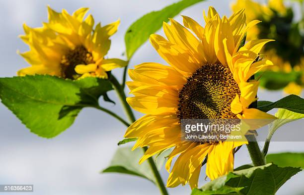 helianthus annuus or sunflower - helianthus stock photos and pictures