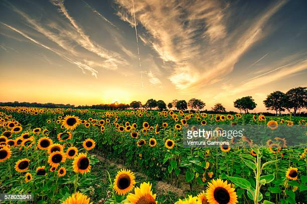 helianthus annuus - helianthus stock photos and pictures