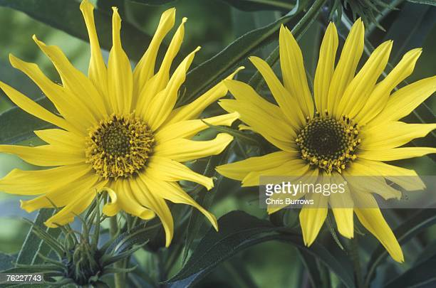 helianthus maximiliani, september - helianthus stock photos and pictures