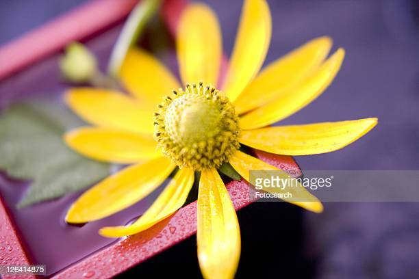 helianthus tuberosus - helianthus stock photos and pictures