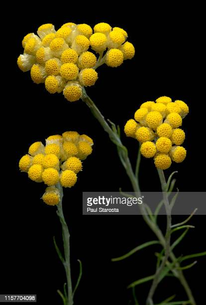 helichrysum stoechas (shrubby everlasting, flower of gold) - fleur photos et images de collection