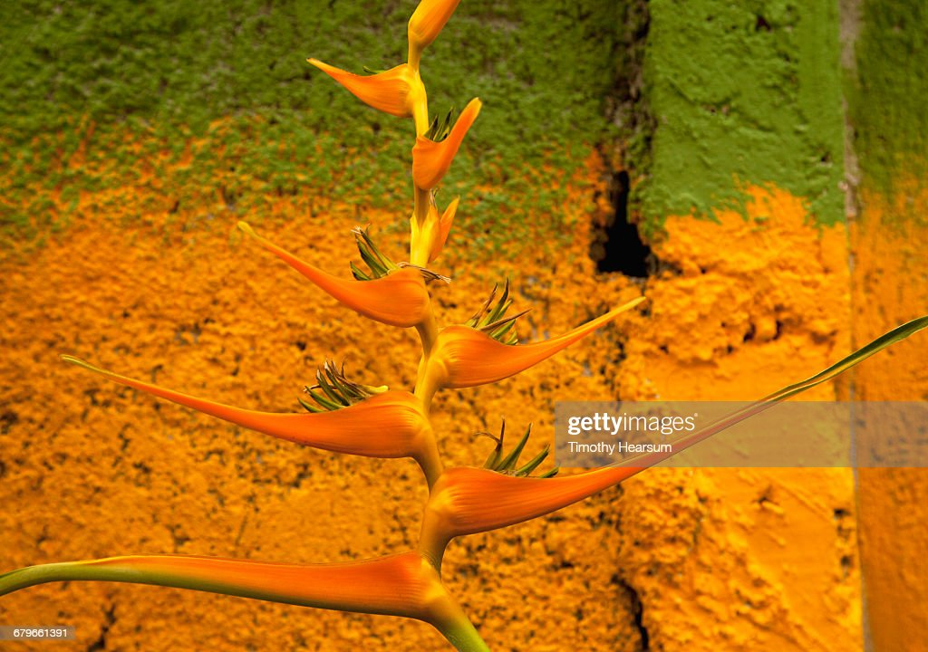 Heliconia flower against an orange and green wall : Stock Photo