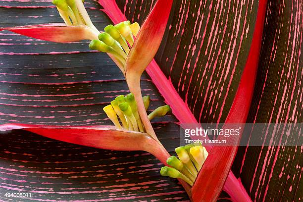 heliconia flower against red banana leaf - timothy hearsum bildbanksfoton och bilder