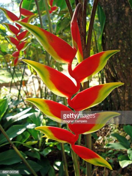 Heliconia flower, Hanging lobster claw
