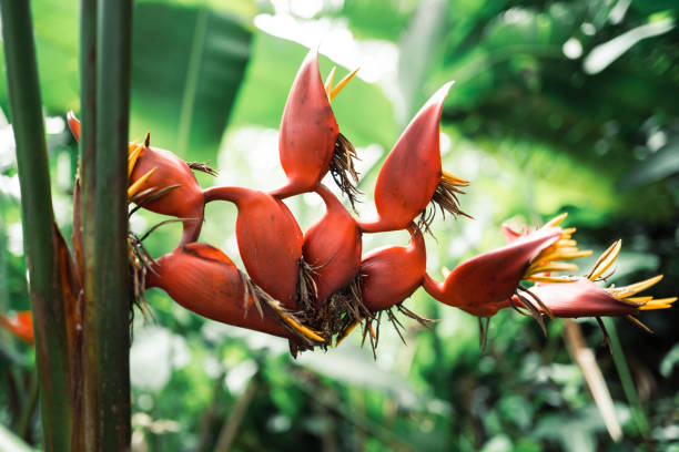 Heliconia metallica flower