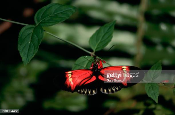 A heliconius butterfly lands on a red flower on a vine displaying camouflage technique Butterfly World in Florida