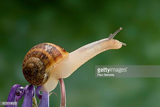 helix aspersa maxima (brown garden snail) - stretching its body - garden snail stock photos and pictures