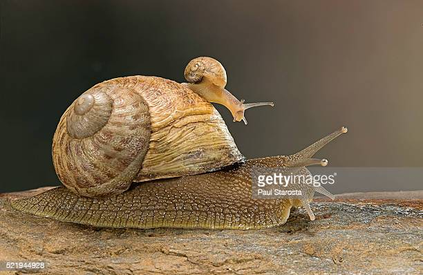 Helix aspersa maxima (brown garden snail) - young with adult