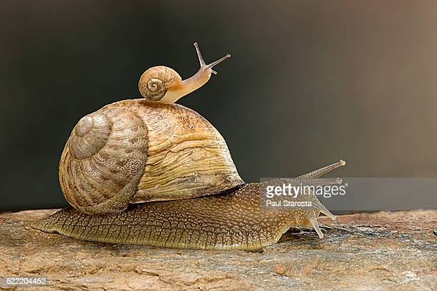 helix aspersa maxima (brown garden snail) - young with adult - garden snail stock photos and pictures