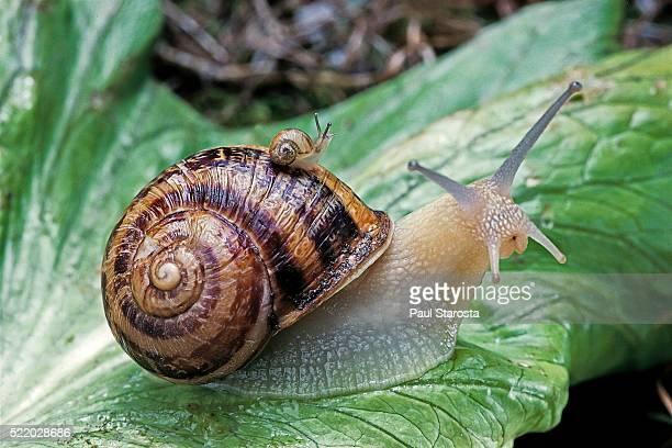 helix aspersa (brown garden snail) - newly hatched with adult - snail stock pictures, royalty-free photos & images