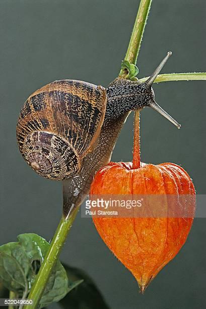 helix aspersa (brown garden snail) - on a chinese-lantern fruit - garden snail stock photos and pictures