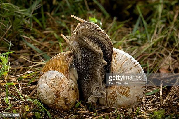 Helix pomatia (burgundy snail, Roman snail, edible snail, escargot) - pair mating
