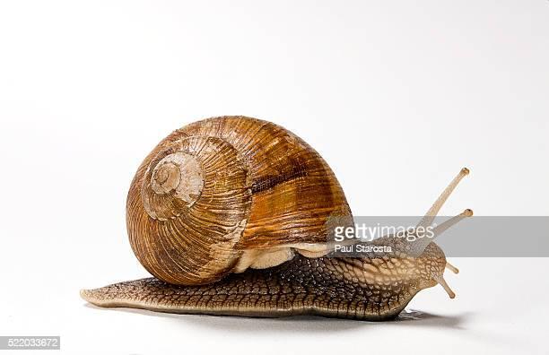 helix pomatia (burgundy snail, roman snail, edible snail, escargot) - snail stock photos and pictures