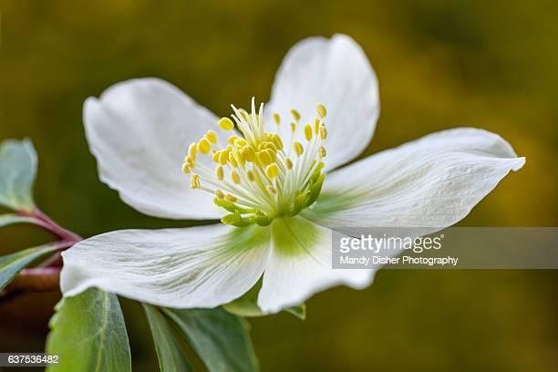 hellebore flower - ヘレボルス ストックフォトと画像