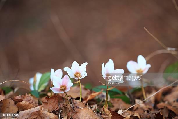 レンテンローズ花 - ヘレボルス ストックフォトと画像