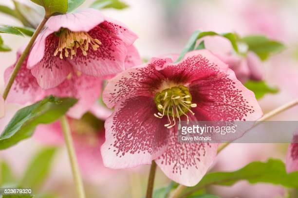 hellebore flowers - ヘレボルス ストックフォトと画像