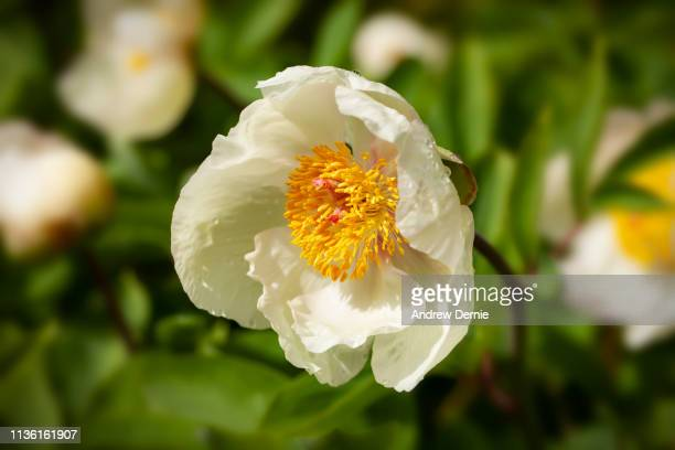hellebore - andrew dernie stock pictures, royalty-free photos & images