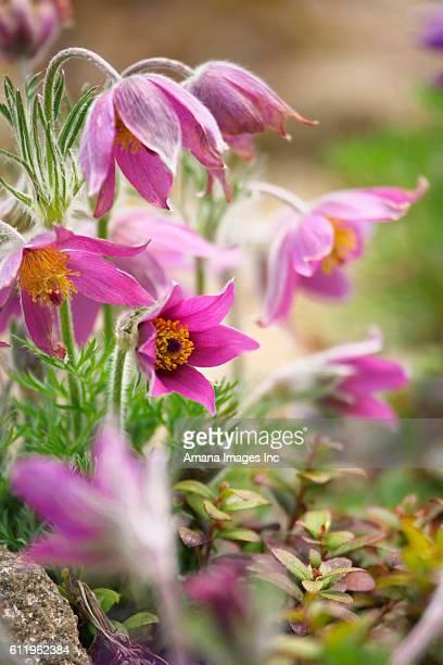 hellebore (helleborus thibetanus) - ヘレボルス ストックフォトと画像