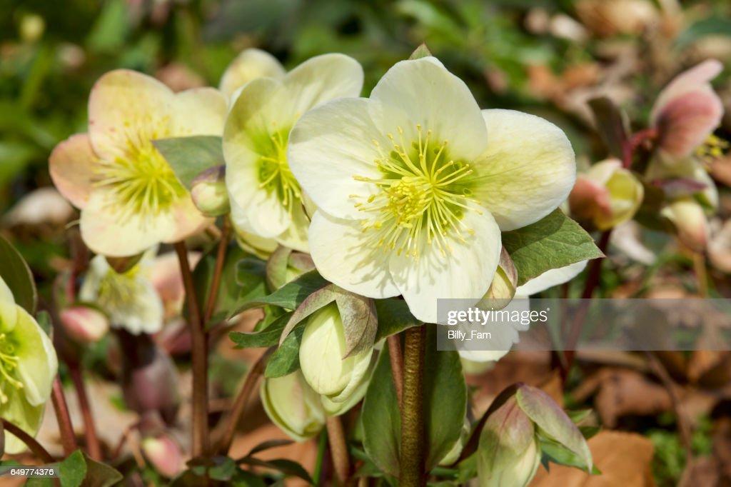 Helleborus flowers in early spring
