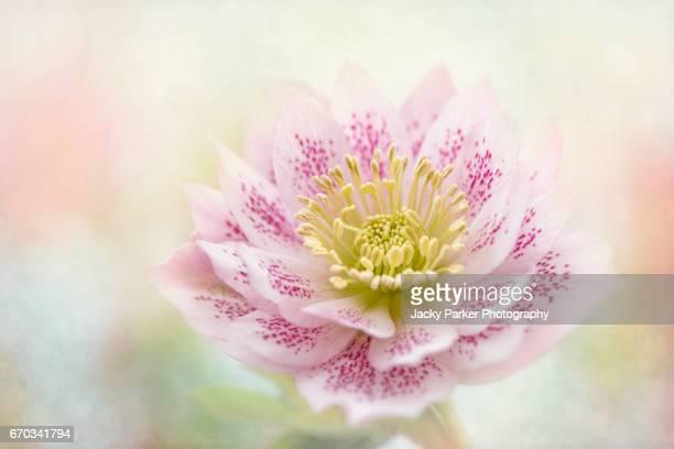 Helleborus odorus 'Double Queen' pink spring flower