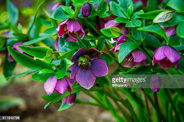 helleborus orientalis - ヘレボルス ストックフォトと画像