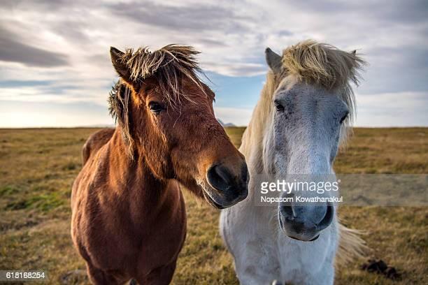 Hello Icelandic Horses