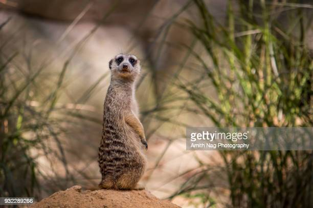 hello, mr.meerkat - mongoose stock photos and pictures