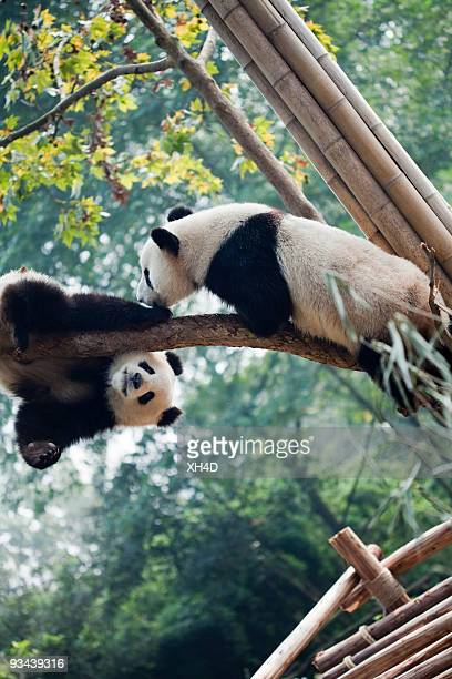 hello - panda stock pictures, royalty-free photos & images